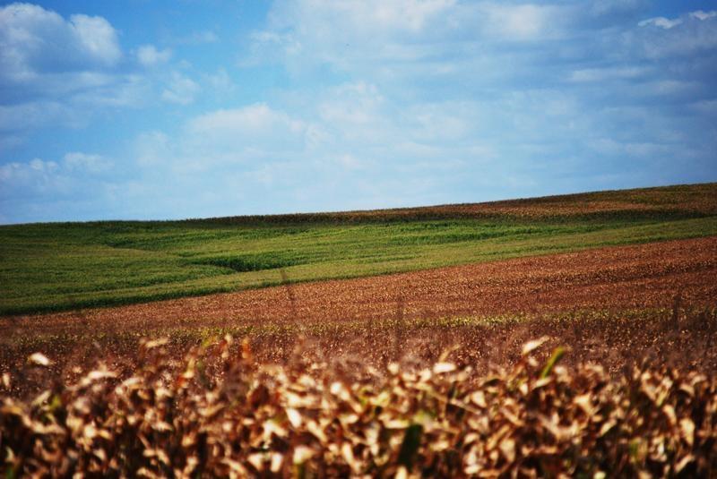 Non-GMO corn and Roundup Ready corn fields