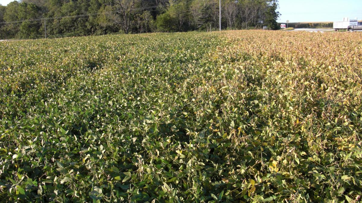 Non-GMO soybeans vs. glyphosate soybeans