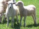 livestock-lamb
