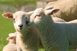 lambs-livestock-cc