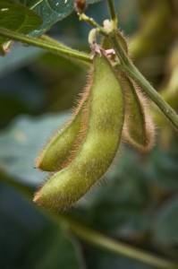 gmo-soybean