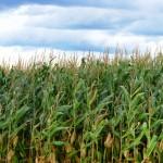 24d-corn