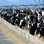 cafo-cattle2